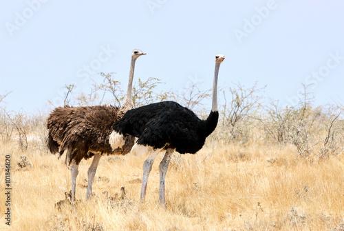 Staande foto Struisvogel pair of ostriches with little chicks