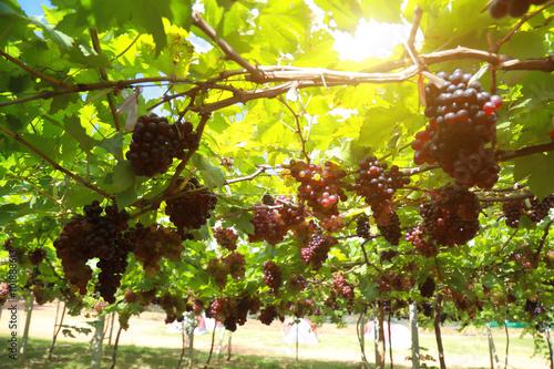 Fotografie, Obraz grapes in vineyard on a sunny day