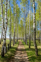Fototapeta Birch-tree alley at spring forest