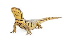 Tiger Salamander On White Lift...