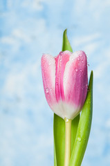 pink springtime tulip with water droplets