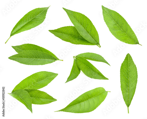 peach leaf isolated