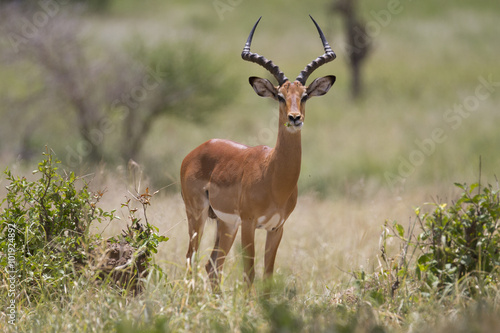Portrait of wild african impala antelope