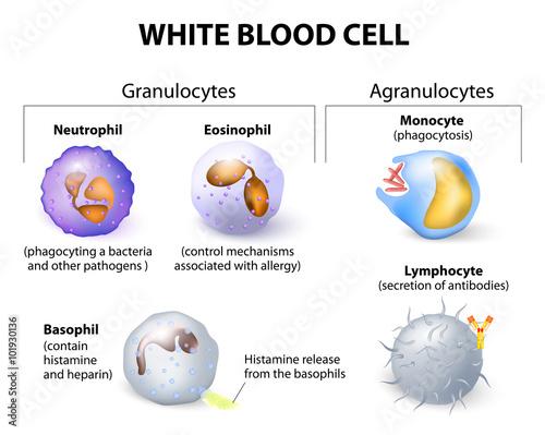 celule albe