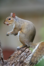 Eastern Gray Squirrel (Sciurus...