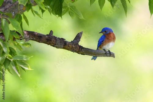 Valokuva  Male Eastern Bluebird (Sialia sialis)