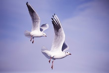 Beautiful Seagulls In Flight O...