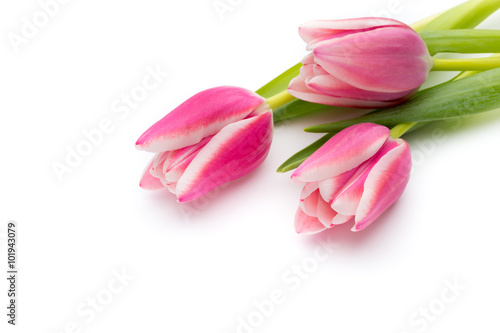 Photo  Tulips pink on the white background.
