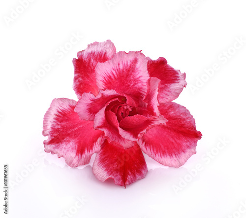 Papiers peints Azalea Azalea flower isolated on white background