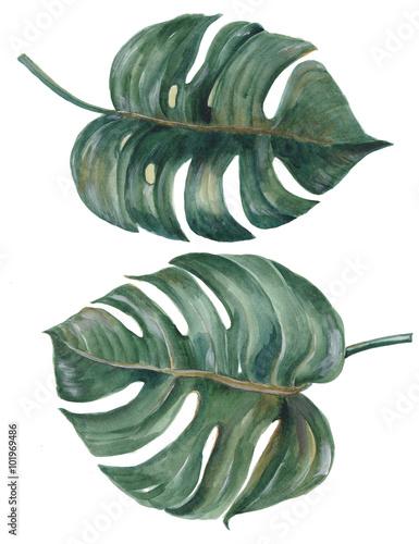 set-tropikalny-rozlam-opuszcza-philodendron-rosliny-akwareli-botanicznego-obraz-na-bialym-tle