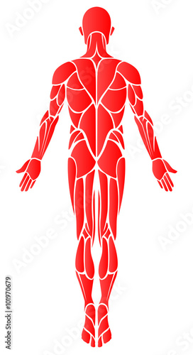 Muscles - Back: A vector diagram of the major muscles found in the ...