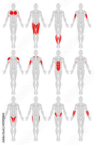 Muscle Groups: A vector diagram of the major muscles found in the ...