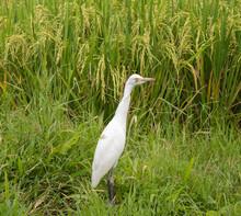 White Heron On Rice Field