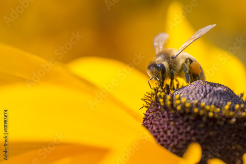 Staande foto Bee Close-up photo of a Western Honey Bee gathering nectar and sprea