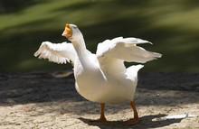 Portrait Of A White Wild Goose...