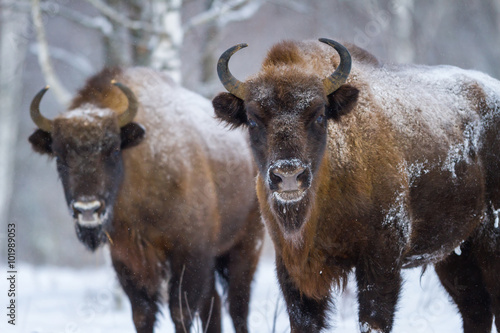 Fényképezés  Two Bison