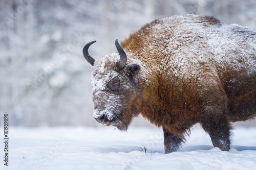 Fotografie, Obraz  The old Bison