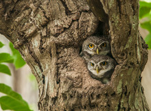 Two Couple Of Lovely Spot Owlet