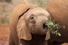 Baby African Elephant Eating