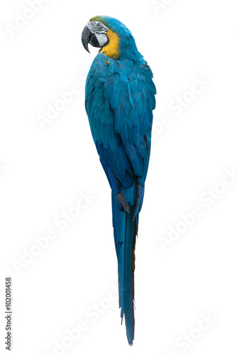 back view of Colourful parrot isolated on white