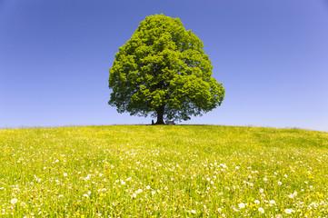Einzelbaum Linde im Frühling auf grüner Wiese