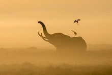 African Elephant In The Morning Mist At Sunrise In Amboseli, Kenya
