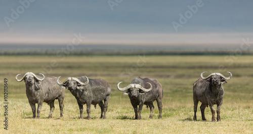 Staande foto Buffel Four Cape Buffalo Bulls in the Ngorongoro Crater, Tanzania