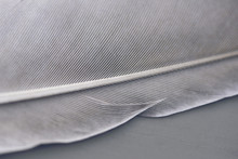 Close Up Of A Grey Feather