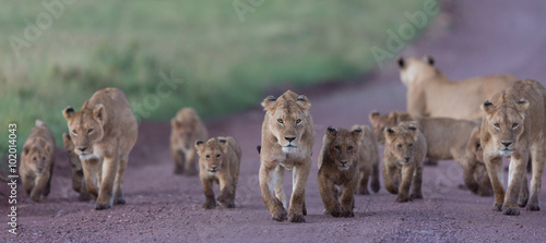 Poster Lavendel Pride of African Lions in the Ngorongoro Crater in Tanzania