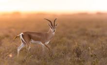 Adult Male Grant's Gazelle In ...