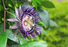 Close Up Of Passion Fruit Flower (Passiflora) From India