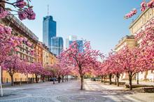 Kirschbaumblüte In Frankfurt,...