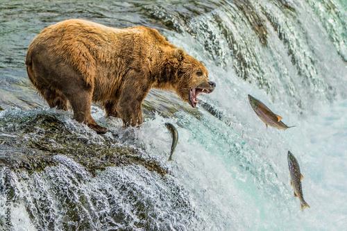 Fotografie, Tablou  Grizzly Bear Catching Salmon Katmai National Park Alaska