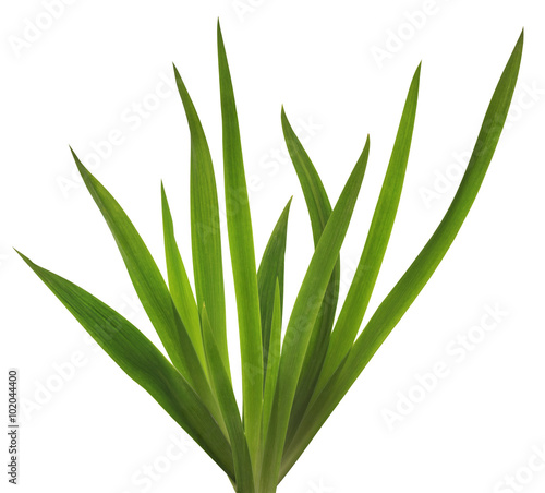 Spring Iris leaves