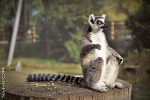 Photo  Lemur in nature