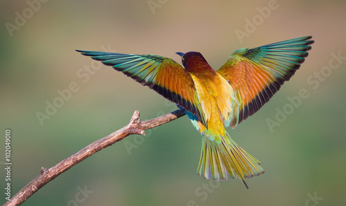 Foto op Canvas Vogel Landing bee-eater