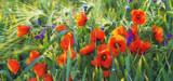 Fototapeta Kwiaty - Polne maki pośród traw i kwiatów polnych