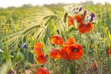 Fototapeta Papavers - Mak polny pośród ziół i zboża