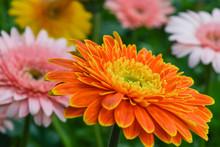 Single Orange Chrysanthemum On...
