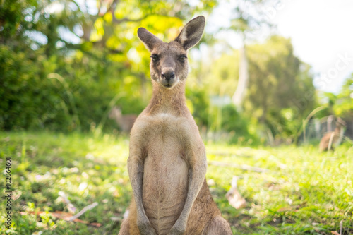Photo sur Toile Kangaroo Kangaroo at Open Field