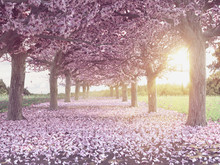 Rows Of Beautifully Blossoming Cherry Trees