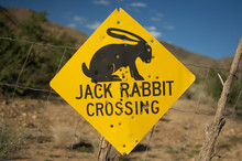 Old Jack Rabbit Crossing Road ...