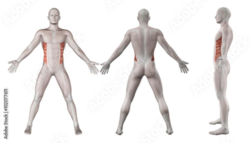 Fotografie, Tablou 3D images showing male figure with external oblique highlighted