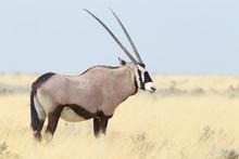 Oryx Gazella, Gemsbok Standing...