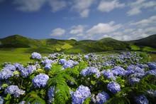 Flores, Hydrangea Wild Field, ...