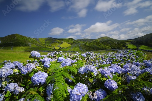 Foto op Canvas Hydrangea Flores, hydrangea wild field, azores, portugal