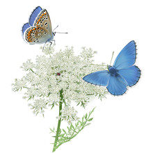 Butterflies Adonis Blue On Queen Anne's Lace. Hand Drawn Vector Illustration Of A Male Adonis Blue Butterflies (Polyomatus Bellargus) Resting On Queen Anne's Lace. White Background.