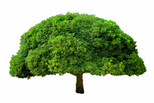 Tree With Fluffy Green Foliage On A White Background