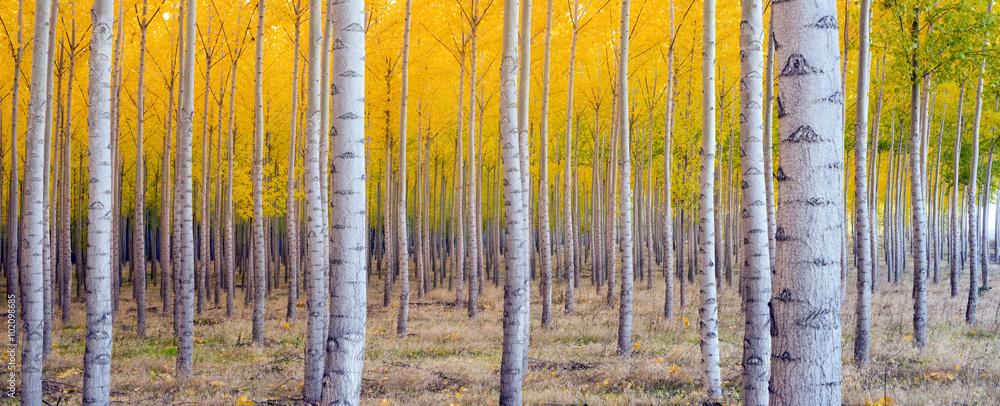 Fototapeta Beautiful Trees Leaves Changing Autumn