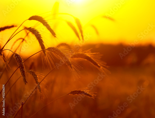 Landscape with wheat field on sunset sky background